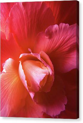 Fire And Ice Floral Begonia Canvas Print by Jennie Marie Schell