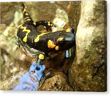 Fire Salamander  Canvas Print by Lucy D