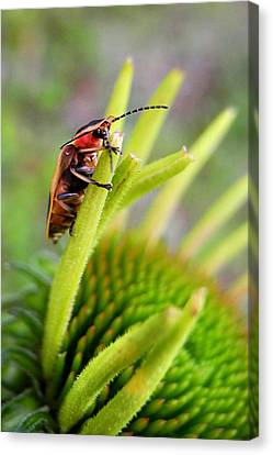 Firefly Lightning Bug Grabs A Snack Before Work Canvas Print by Christina Rollo