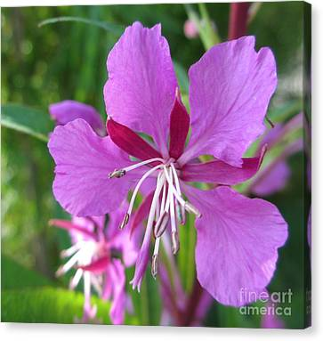 Fireweed 1 Canvas Print by Martin Howard