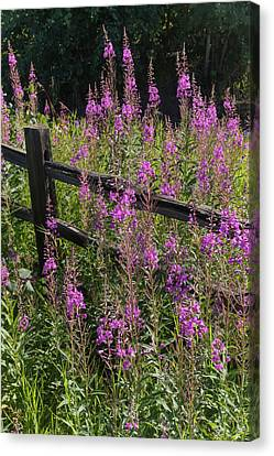 Fireweed  Chamerion Angustifolium Canvas Print by Doug Lindstrand