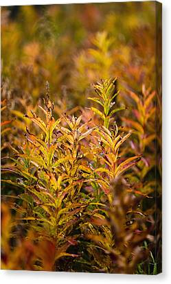 Fireweed With Autumn Colors, Kodiak Canvas Print by Kevin Smith