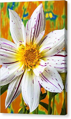 Fireworks Dahlia White And Pink Canvas Print by Garry Gay