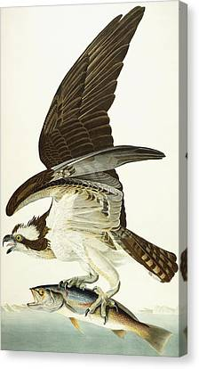 Fish Hawk Canvas Print by John James Audubon