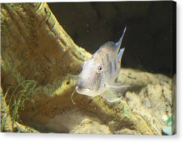 Fish - National Aquarium In Baltimore Md - 121248 Canvas Print by DC Photographer