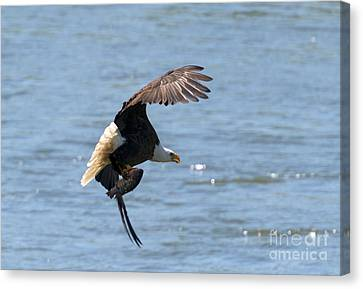 Fishing With Talons Canvas Print by Mike  Dawson