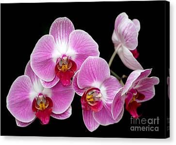 Five Beautiful Pink Orchids Canvas Print by Sabrina L Ryan