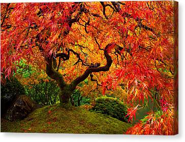 Flaming Maple Canvas Print by Darren  White