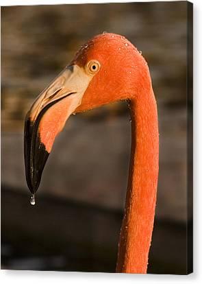 Flamingo Canvas Print by Adam Romanowicz