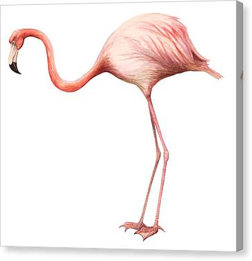 Flamingo Canvas Print by Anonymous