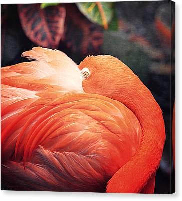 Flamingo Il Canvas Print by Maria Angelica Maira