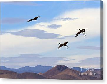 Flight Of The Sandhill Cranes Canvas Print by Mike  Dawson