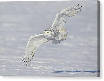 Flight Of The Snowy Canvas Print by Daniel Behm