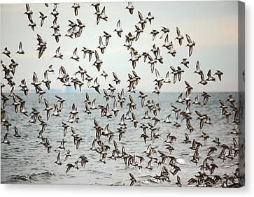 Flock Of Dunlin Canvas Print by Karol Livote