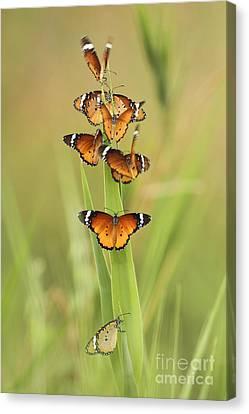 Flock Of Plain Tiger Danaus Chrysippus Canvas Print by Alon Meir