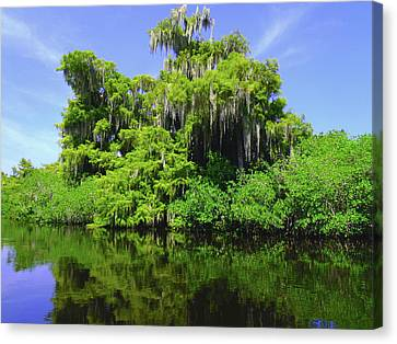 Florida Swamps Canvas Print by Carey Chen
