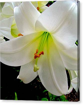 Flower Christmas Lily. Canvas Print by Joyce Woodhouse