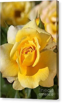 Flower-yellow Rose-delight Canvas Print by Joy Watson
