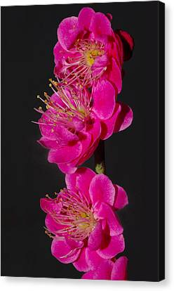 Flowering Apricot Canvas Print by Harold Greer