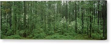 Flowering Dogwood Cornus Florida Trees Canvas Print by Panoramic Images