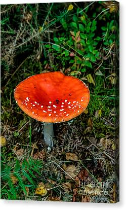 Fly Agaric Fungi Canvas Print by Adrian Evans