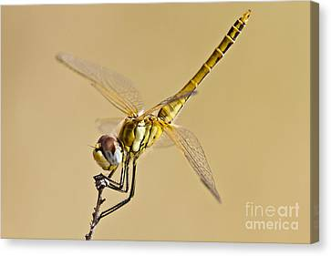Fly Dragon Fly Canvas Print by Heiko Koehrer-Wagner