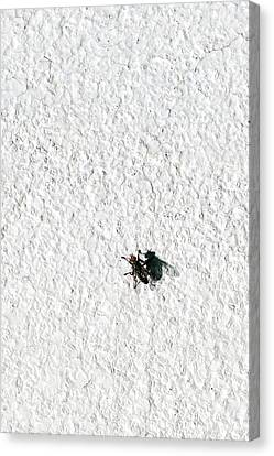 Fly On A Wall Canvas Print by Alexander Senin