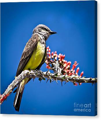 Flycatcher Canvas Print by Robert Bales