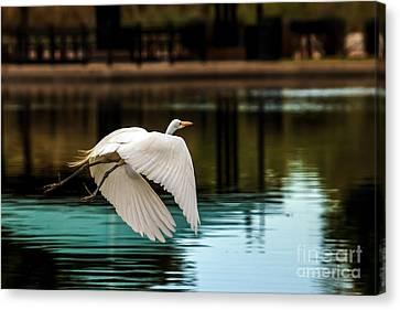 Flying Egret Canvas Print by Robert Bales
