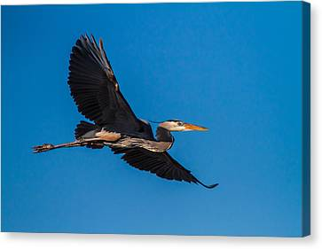 Flying Great Blue Heron Canvas Print by Andres Leon