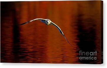 Flying Gull On Fall Color Canvas Print by Robert Frederick