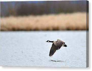 Flying Low Canvas Print by Randy Giesbrecht