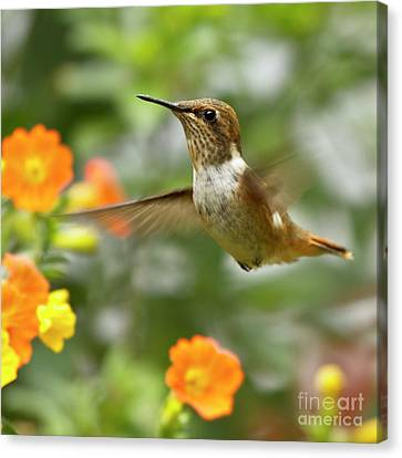 Flying Scintillant Hummingbird Canvas Print by Heiko Koehrer-Wagner