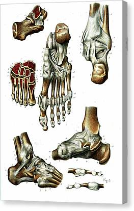 Foot Anatomy Canvas Print by Collection Abecasis