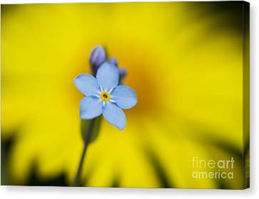 Forget Me Not Flower Canvas Print by Tim Gainey
