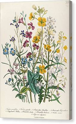 Forget-me-nots And Buttercups, Plate 13 From The Ladies Flower Garden, Published 1842 Colour Litho Canvas Print by Jane Loudon