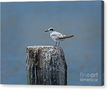 Forster's Tern Canvas Print by Louise Heusinkveld
