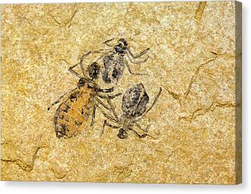 Fossil Dragonfly Larvae (libellula Doris) Canvas Print by Science Stock Photography