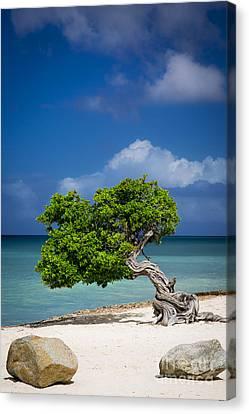 Fototi Tree - Aruba Canvas Print by Brian Jannsen