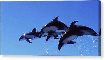 Four Bottle-nosed Dolphins Tursiops Canvas Print by Panoramic Images