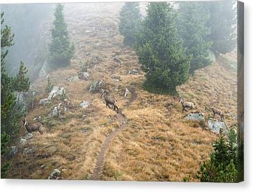 Four Chamois Crossing A Forest Path In The Swiss Alps Canvas Print by Matthias Hauser