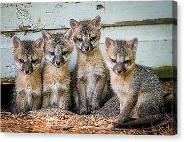 Four Fox Kits Canvas Print by Paul Freidlund