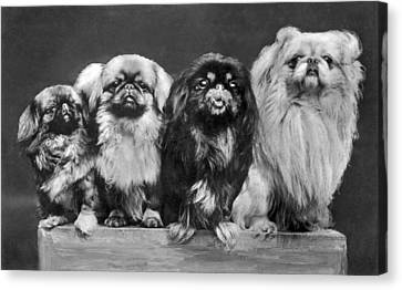 Four Pekingese On A Box Canvas Print by Underwood Archives