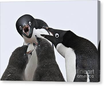 Four Penguins Canvas Print by Carol Walker