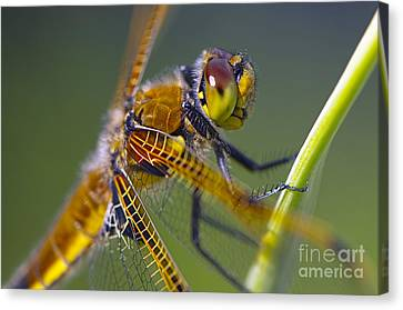 Four Spotted Chaser Canvas Print by Sharon Talson
