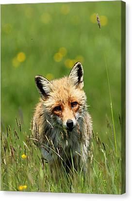 fox Canvas Print by Dragomir Felix-bogdan