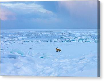 Fox Of The North Country Iv Canvas Print by Mary Amerman