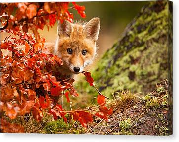 Fox Canvas Print by Robert Adamec
