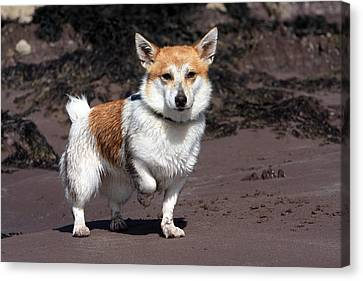 Terrier At The Beach Canvas Print by Aidan Moran