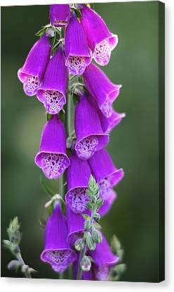 Foxglove (digitalis Purpurea) Flowers Canvas Print by Science Photo Library